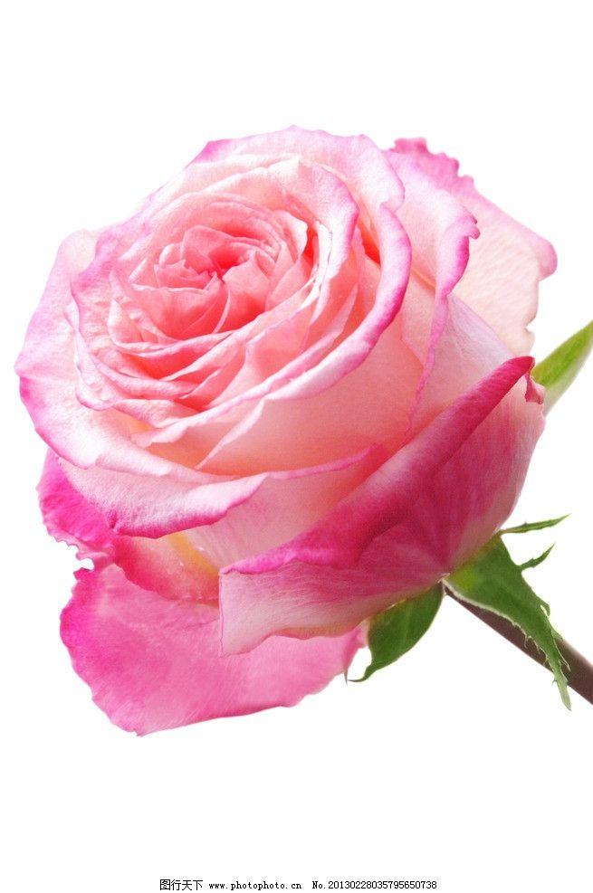 玫瑰花 玫瑰 花卉 花瓣 叶子 鲜花 花草 生物世界 摄影 100dpi jpg
