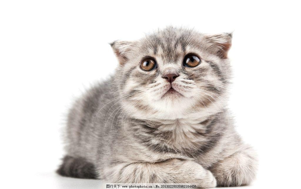 猫咪 猫科动物 摄影 野生动物 高清摄影 商业摄影 招手 宠物摄影