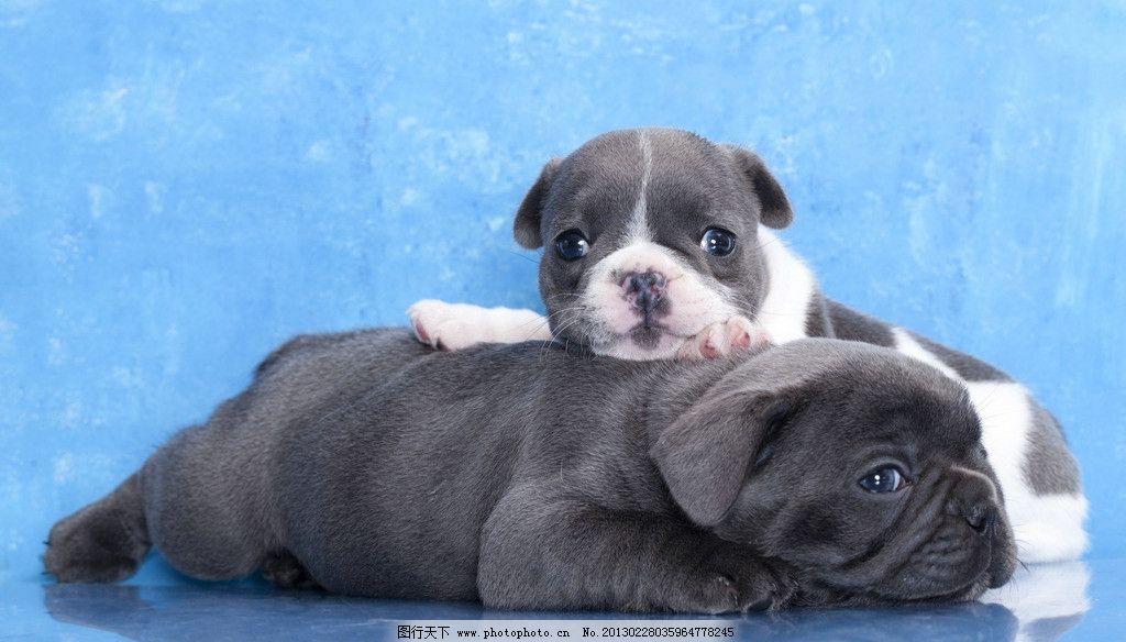 巴哥犬 狗 宠物 摄影 高清摄影 商业摄影 可爱 狗崽 宠物摄影 家禽