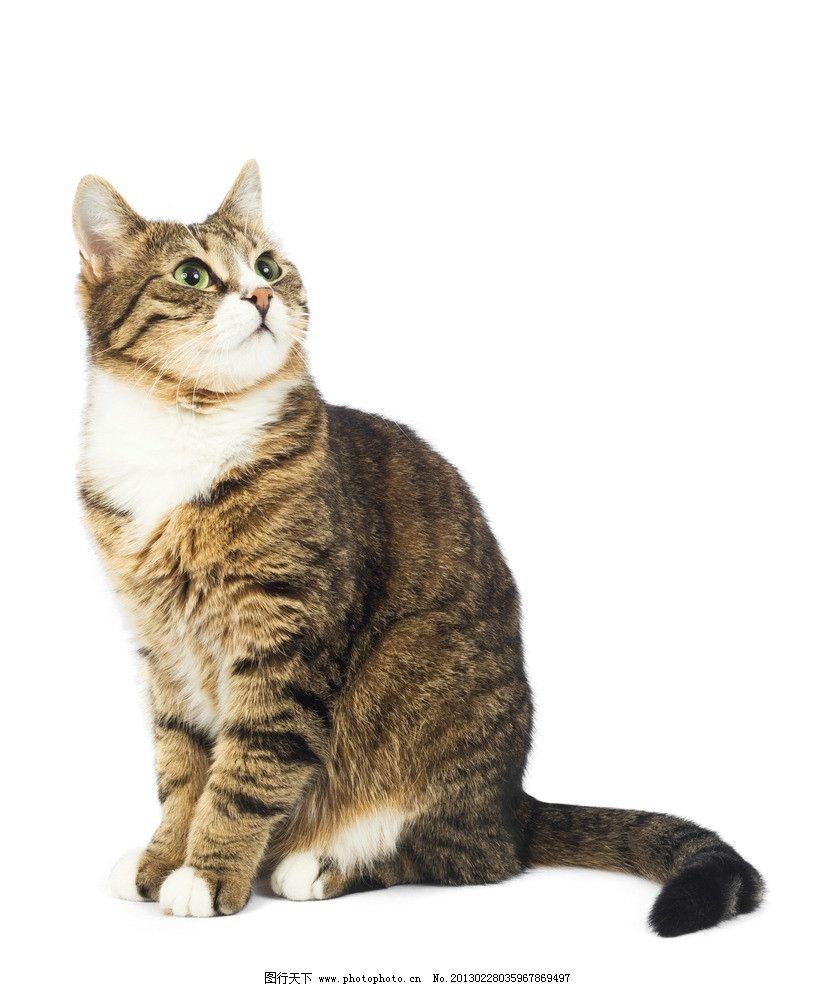猫咪 猫 猫科动物 摄影 野生动物 高清摄影 商业摄影 招手 宠物摄影