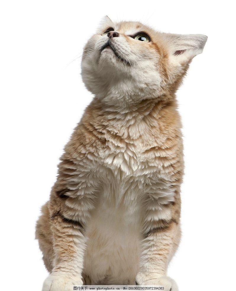 猫咪 摄影 高清 站立 猫 可爱 宠物 宠物摄影 家禽家畜 生物世界 300