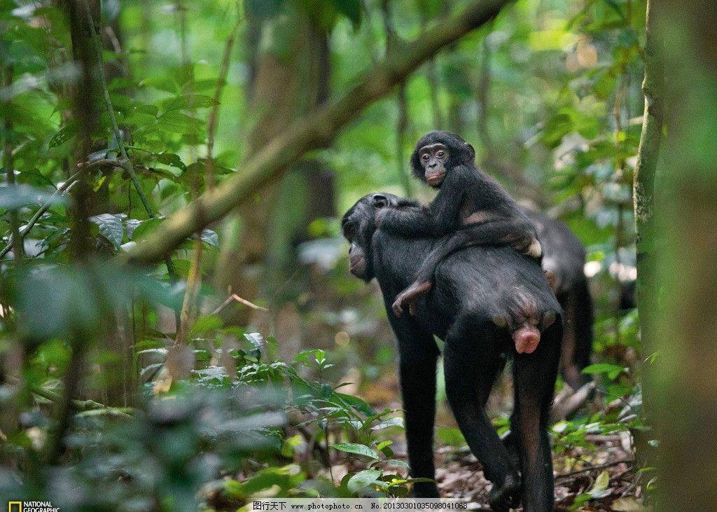 猩猩母子 小猩猩 可爱 非洲 高清 摄影 动物 野生 灵长类 野生动物
