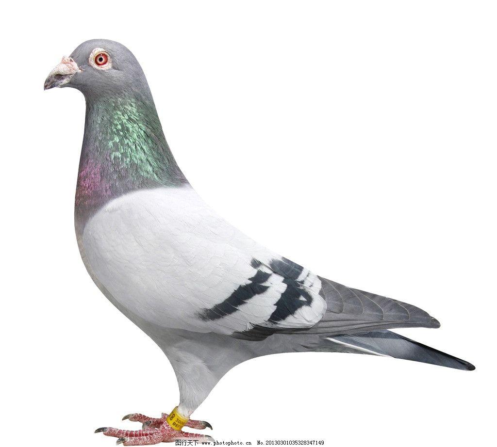 动物 鸽 鸽子 鸟 鸟类 1024_922