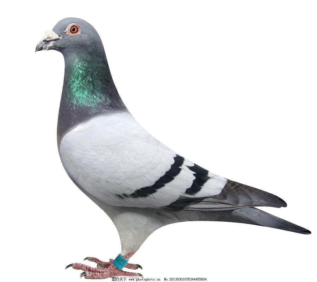 鸽子 鸟类 羽毛 白色 黑色 白鸽 生物世界 摄影 72dpi tif