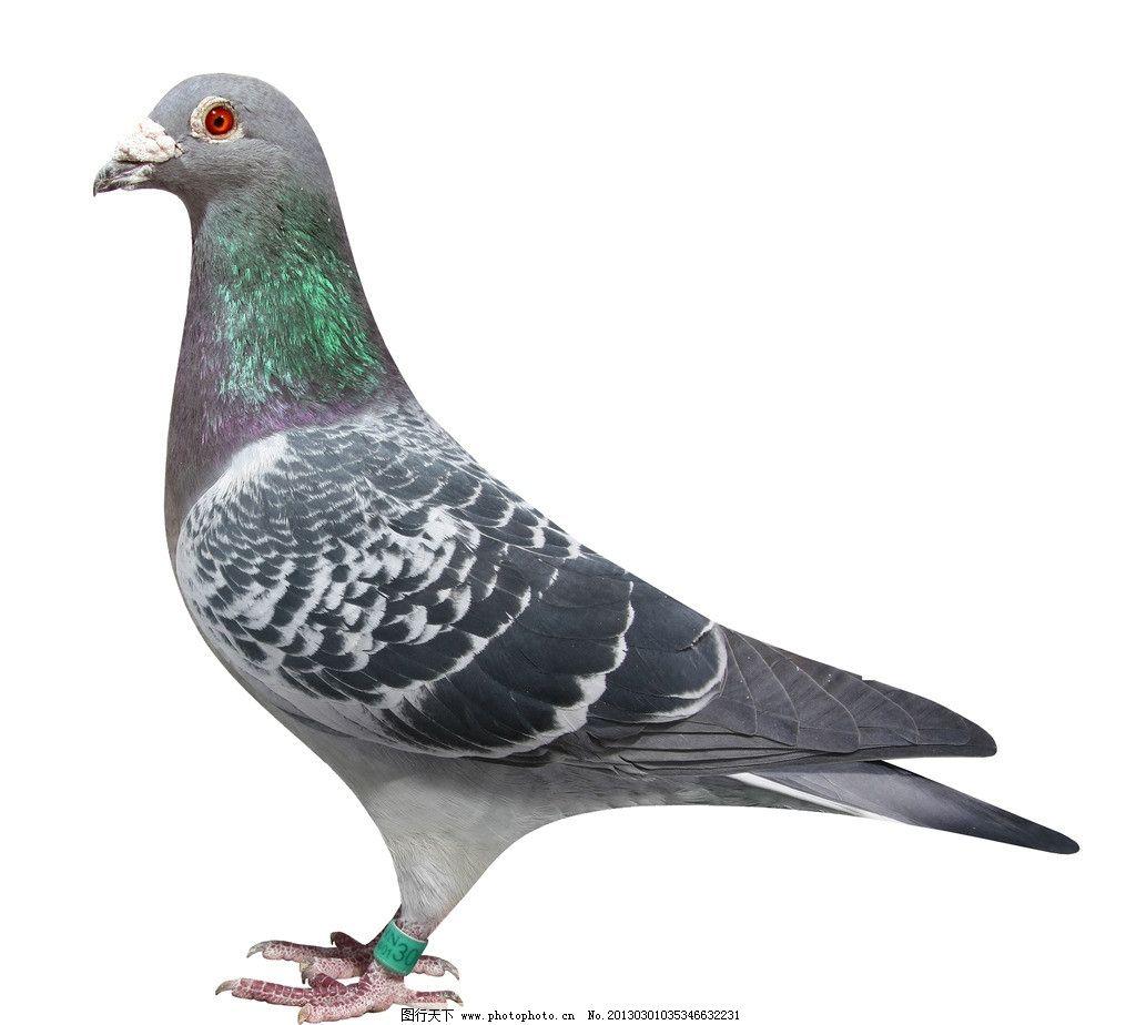 动物 鸽 鸽子 教学图示 鸟 鸟类 1024_924