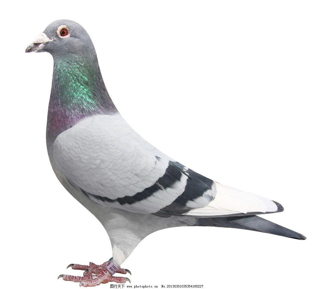 鸽子图片图片