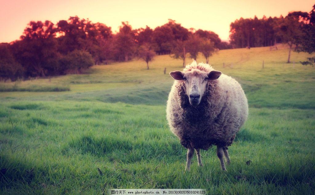 绵羊 野生 动物 动物园 照片 野生动物 生物世界 动物图库 摄影 240