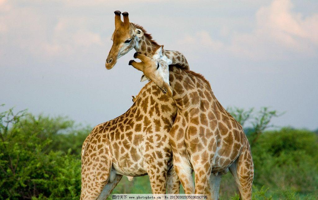 长颈鹿 野生动物 草原动物 摄影 高清 非洲动物 动物摄影 生物世界