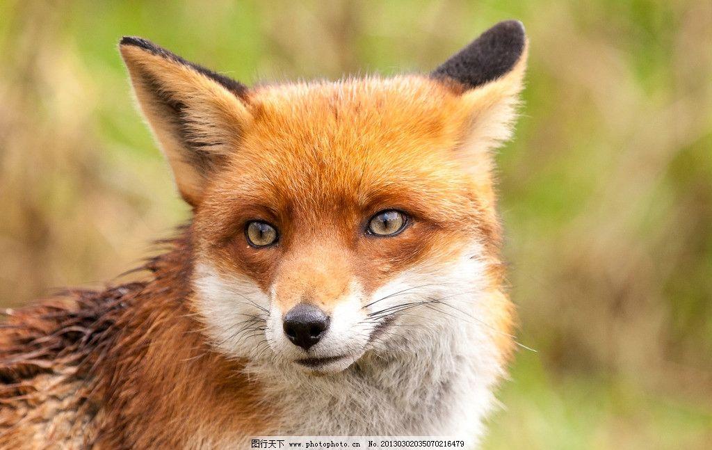 狐狸和小兔歌曲简谱