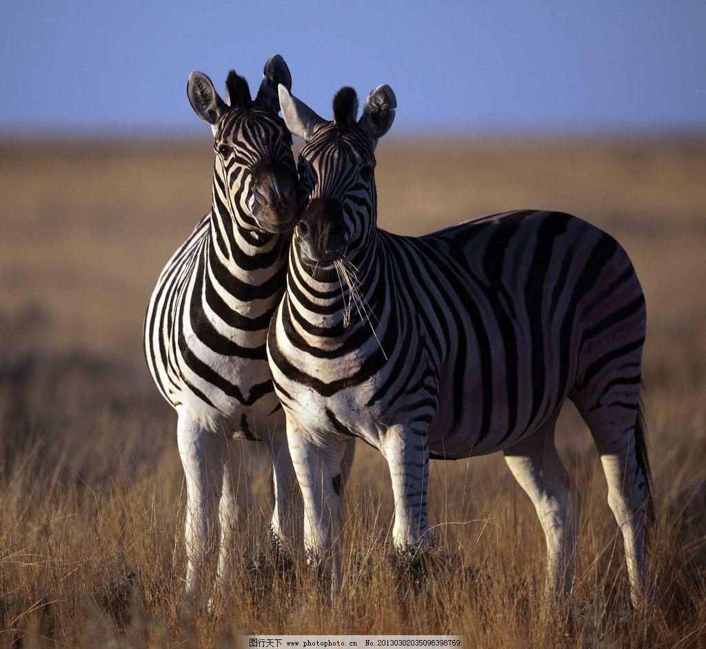 斑马 野生动物 草原动物 摄影 高清 非洲动物 动物摄影 生物世界