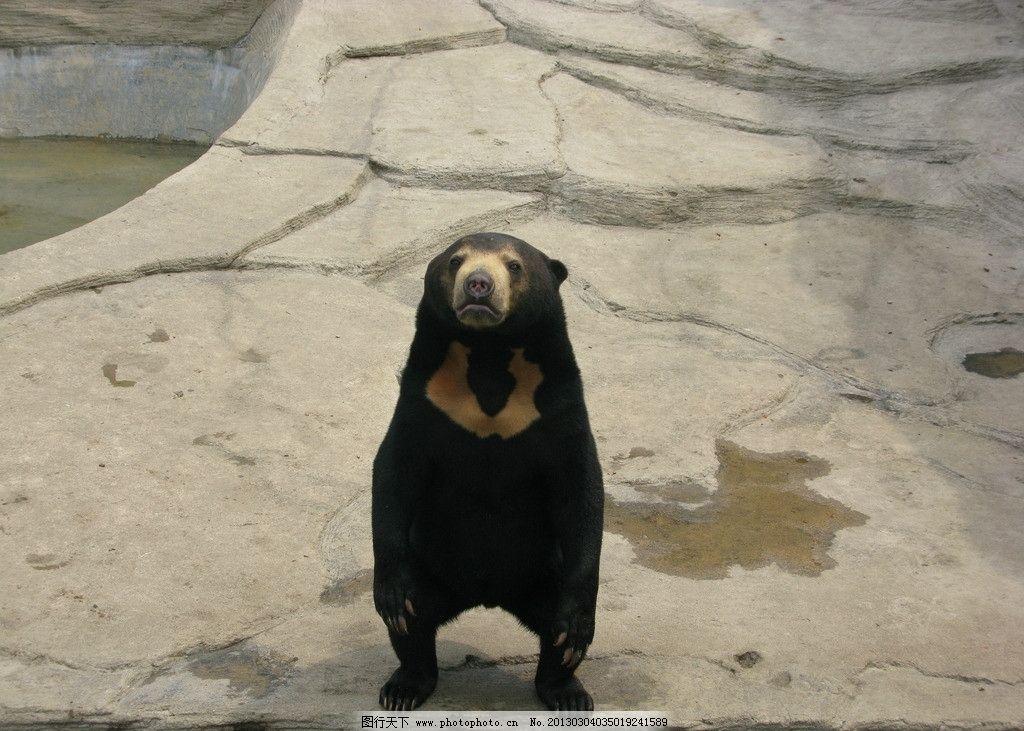 黑色熊站立 黑色 熊 站立 野生动物 生物世界 摄影 180dpi jpg