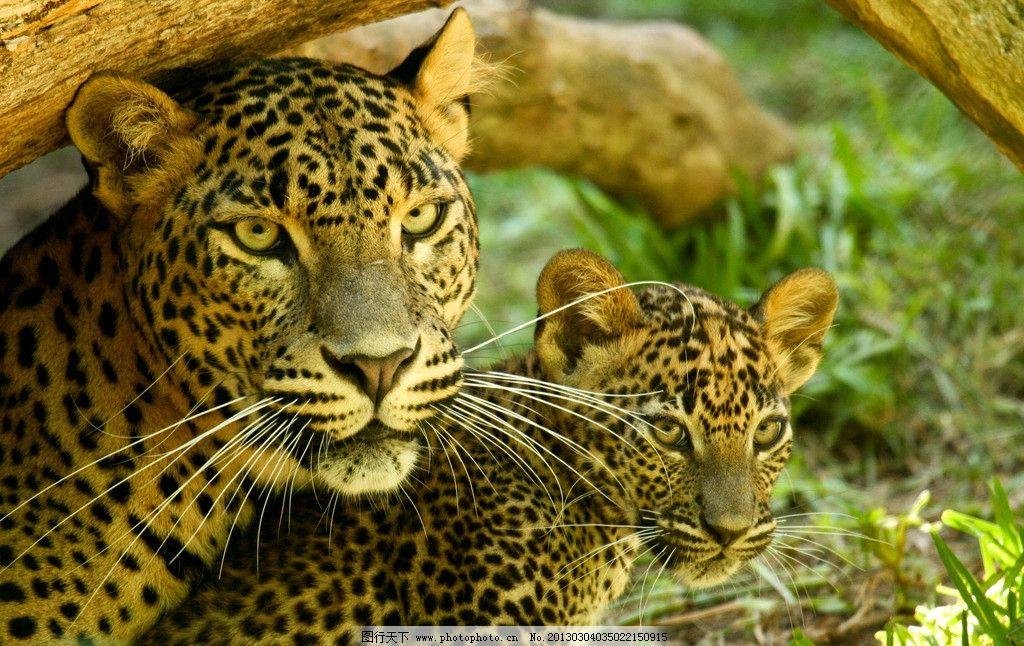 豹 豹子 壁纸 动物 虎 老虎 桌面 1024_646
