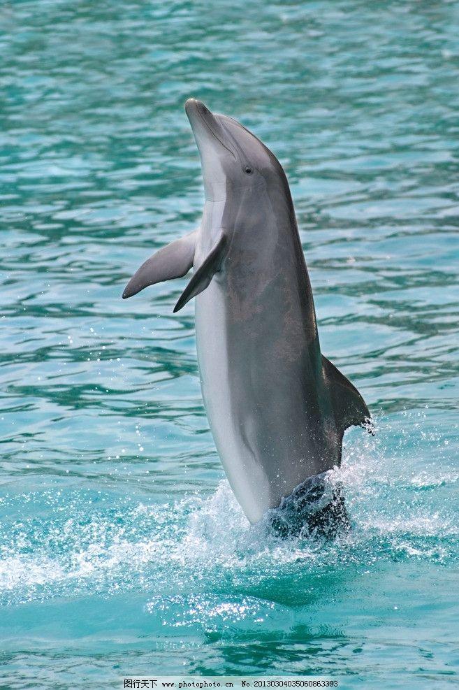 海豚 海洋动物 蓝色海洋 动物摄影 生物世界 300dpi jpg 野生动物