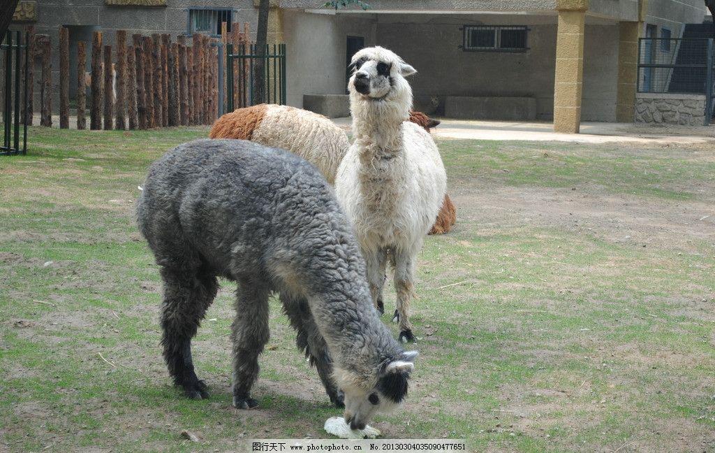 羊驼 动物 野生动物 动物园 生物世界 摄影 300dpi jpg