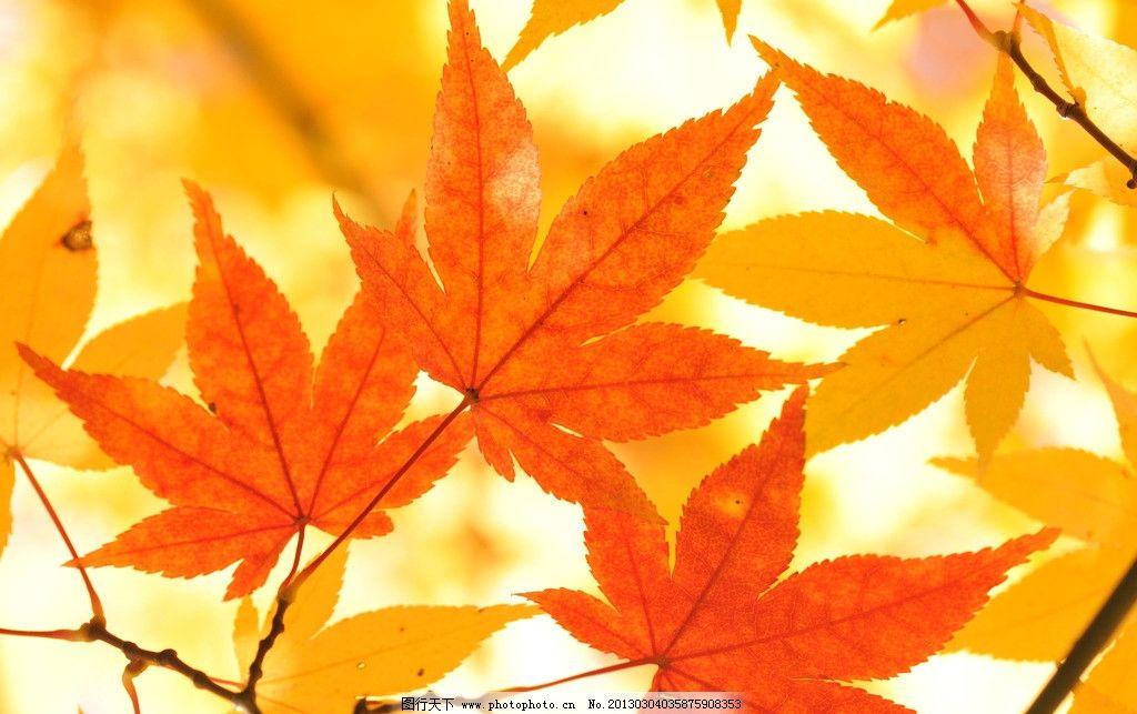 枫叶 红叶 枫树 秋天 秋季 大树 树林 树木 树叶 风光 高清 田园风光