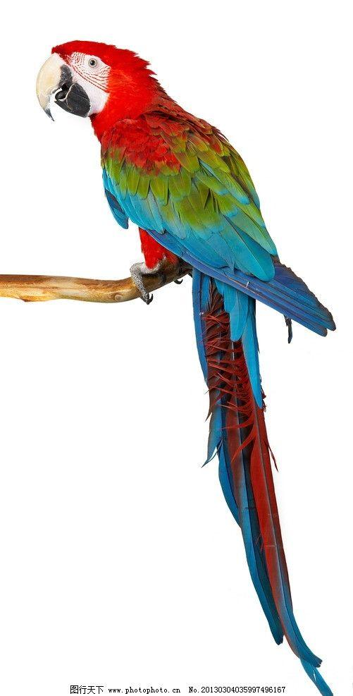 鹦鹉 蓝色鹦鹉 西方动物 宠物 宠物摄影