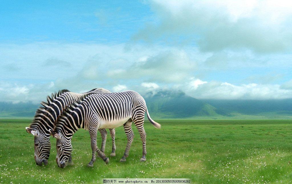 斑马 野生动物 草原动物 摄影 高清 非洲动物 动物摄影 生物世界 300