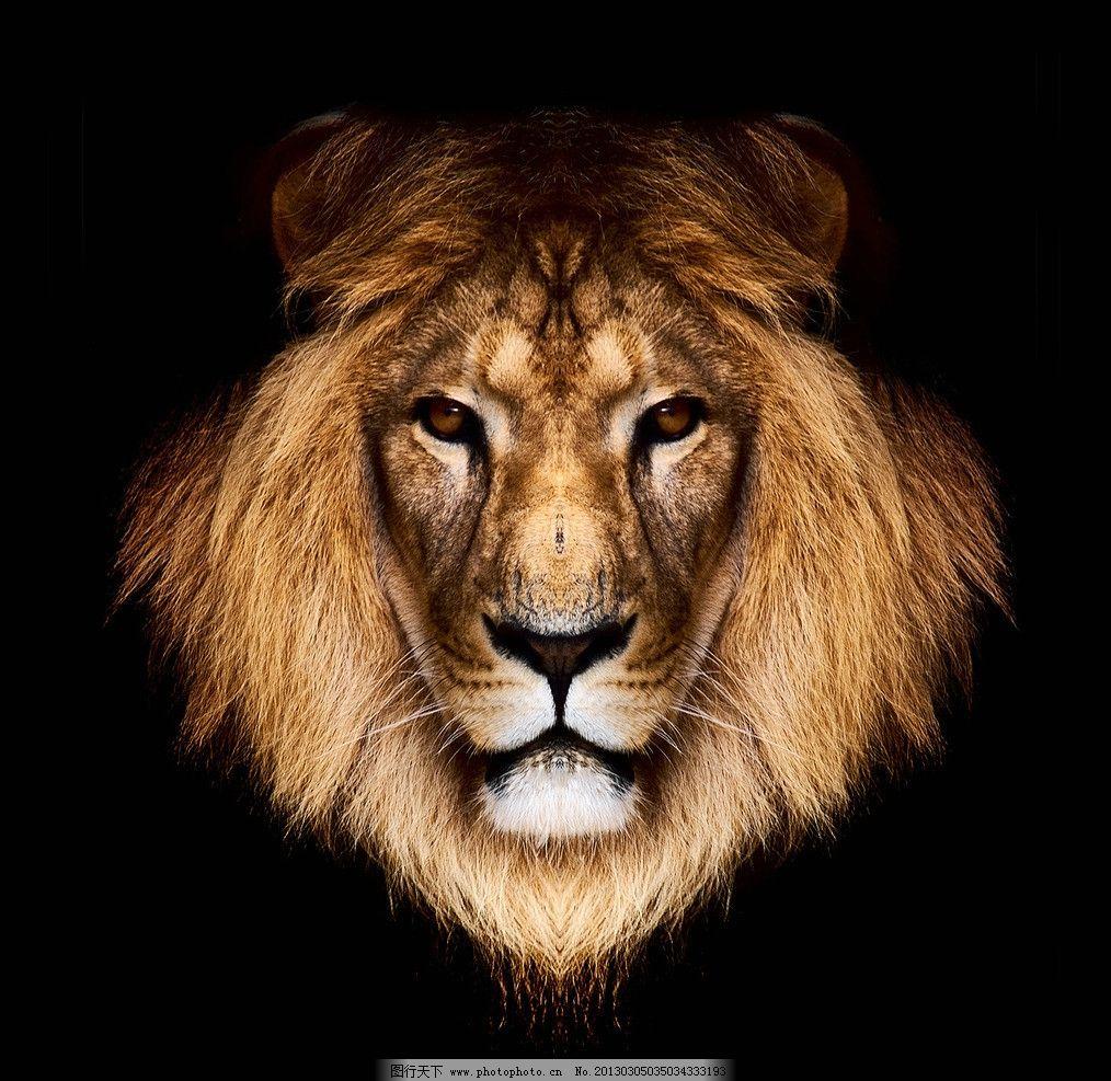 狮子 野生动物 草原动物 摄影 高清 非洲动物 动物摄影 生物世界 300