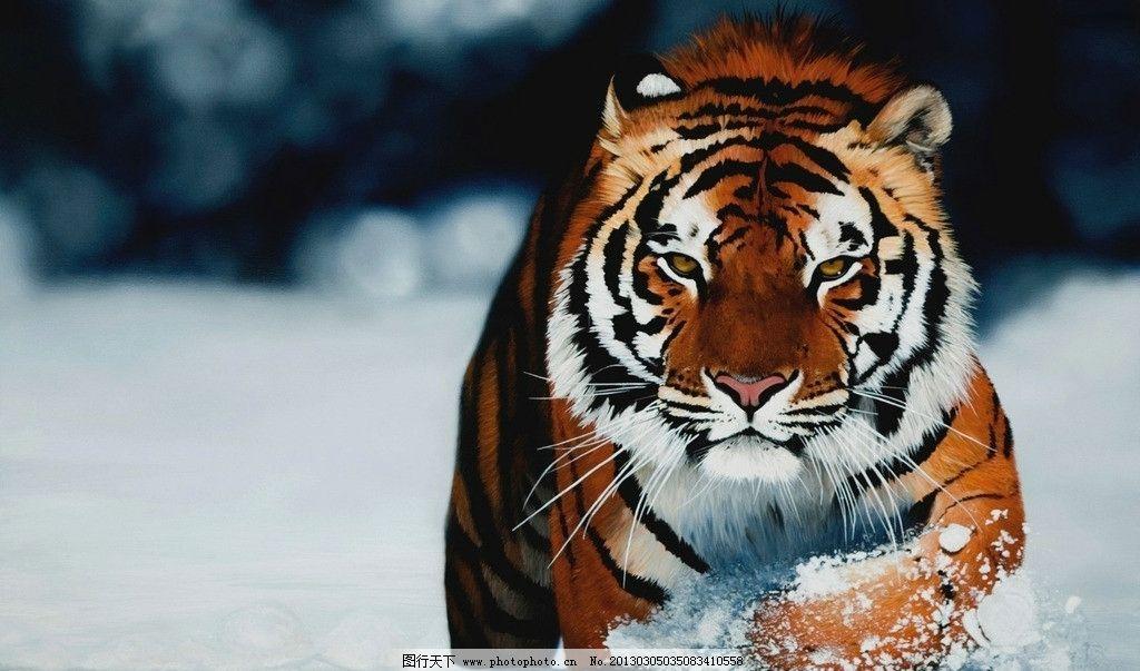 老虎 雪地 奔跑 壁纸 野生动物