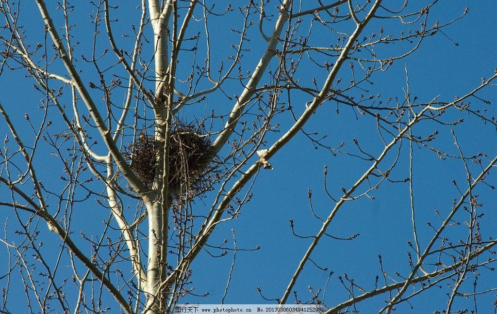 鸟巢 鸟窝 初春 春意 喜鹊窝 杨树 树枝 小鸟 喜鹊 安乐窝 摄影图库