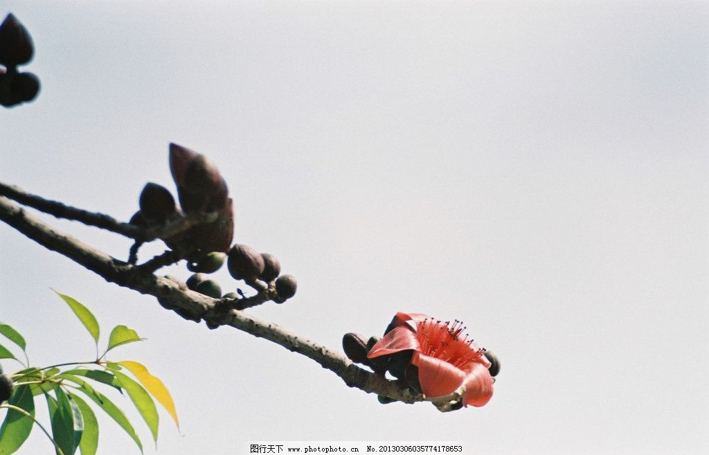 木棉花 花苞