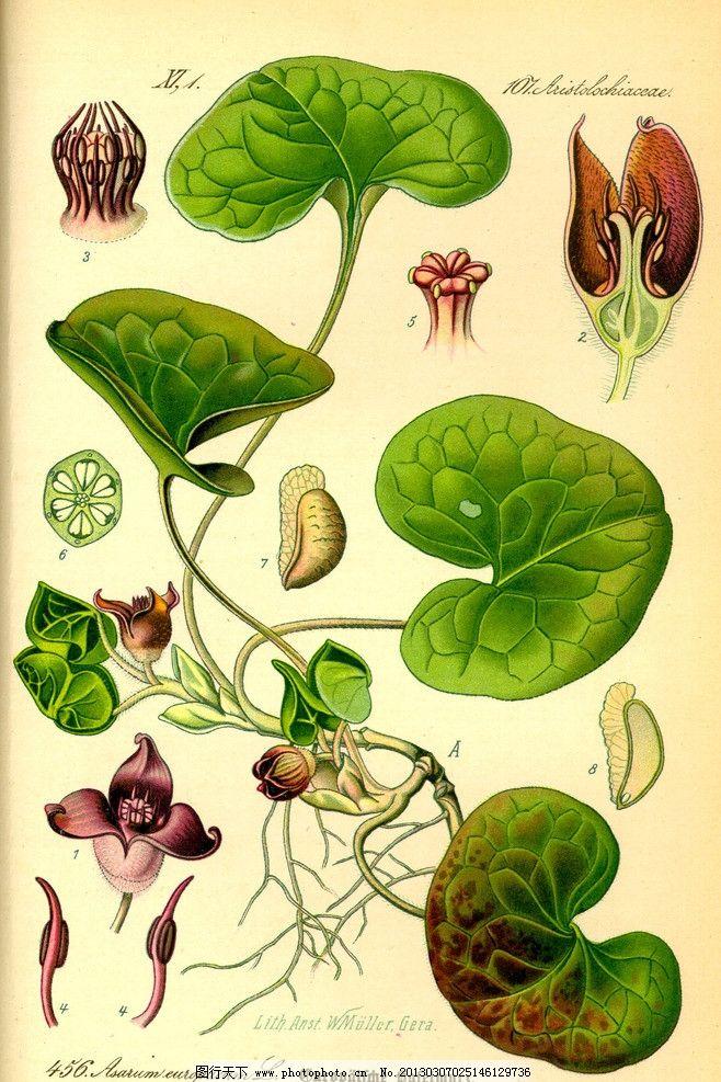 奥托手绘彩色植物图谱图片
