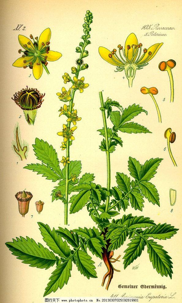 设计图库 生物世界 花草  手绘彩色植物图谱 奥托手绘彩色植物图谱