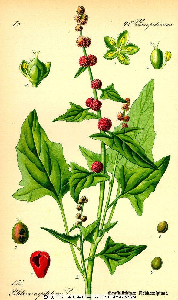 手绘彩色植物图谱 奥托手绘彩色植物图谱 高清大图 解剖