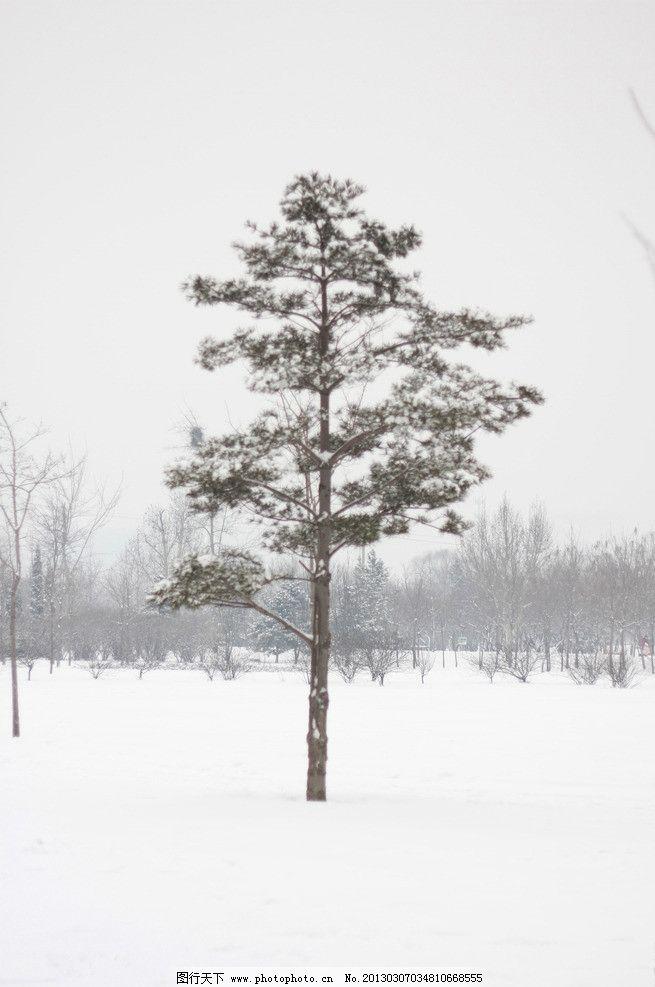 雪中的松树图片
