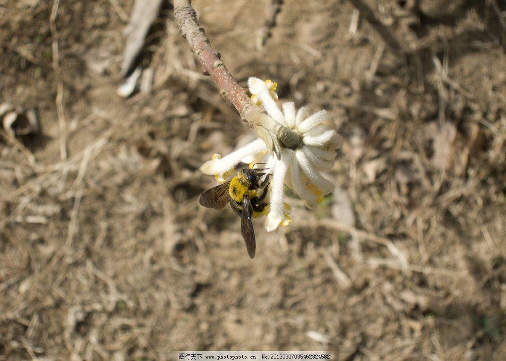 蜜蜂 土蜂 采蜜 春天 花朵 昆虫 动物 生物世界 摄影 蜂飞蝶舞 240dpi