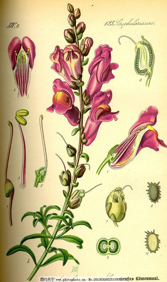 手绘彩色植物图谱 奥托手绘彩色植物图谱 花 花朵 高清大图 解剖