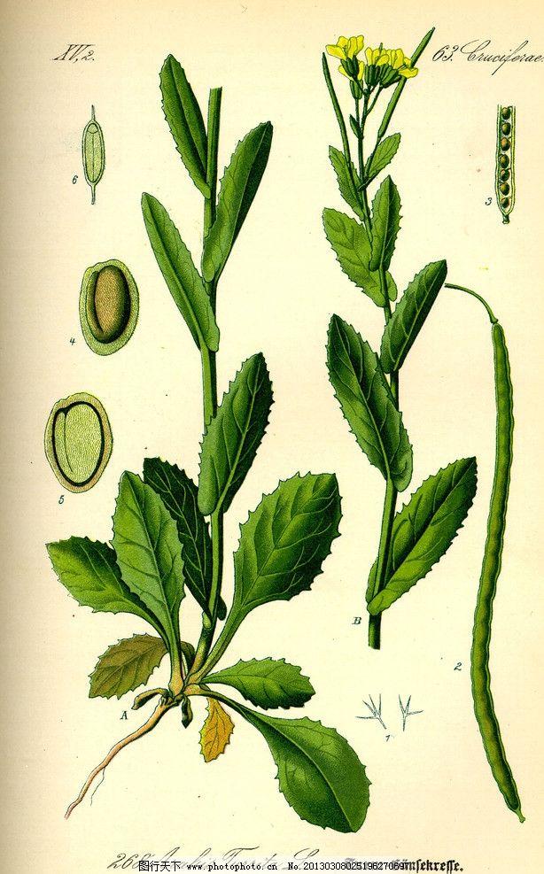 手绘彩色植物图谱 奥托手绘彩色植物图谱 叶片 叶子 高清大图 解剖