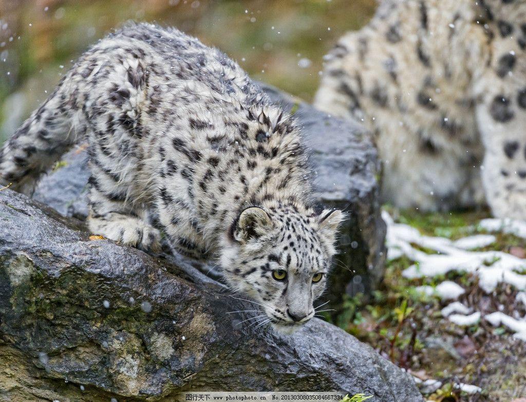 雪豹 豹子 花豹 小豹 哺乳动物 猫科动物 野生动物 生物世界 高清摄影