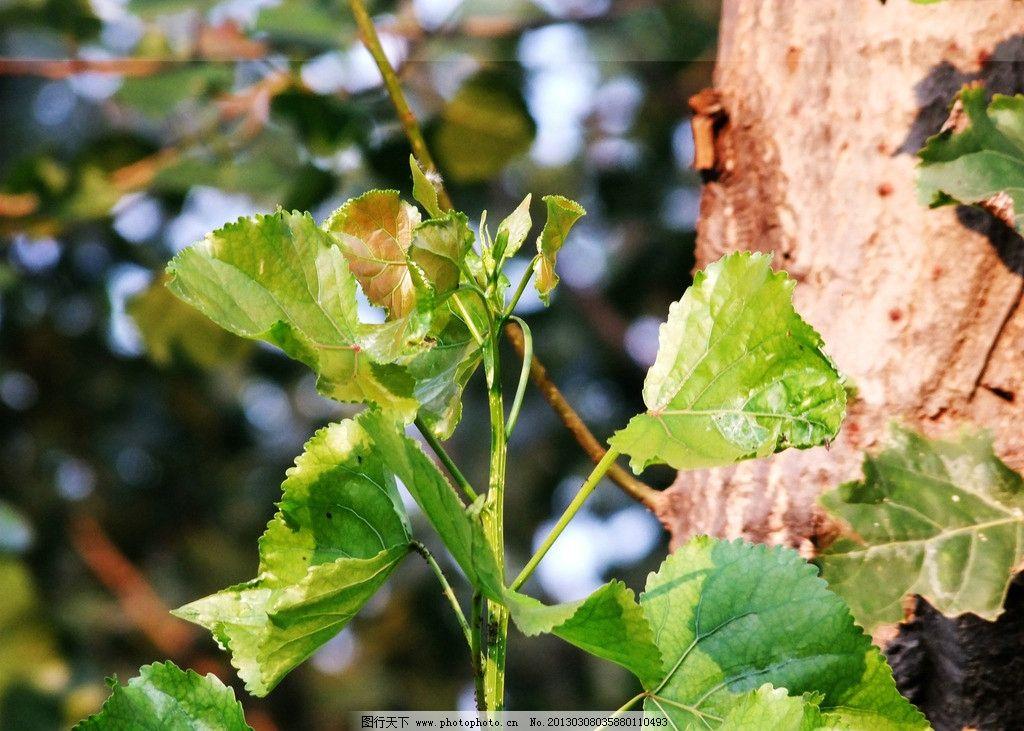 树叶 杨树图片