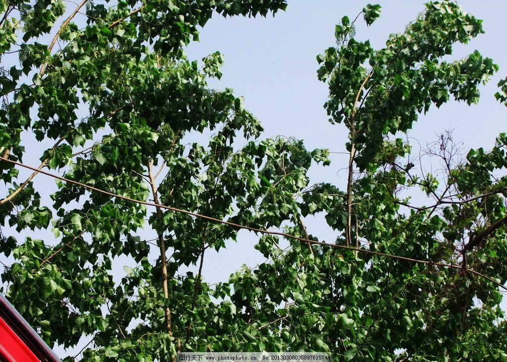 杨树 树叶 旅游 杨树叶 夏天 树木树叶 生物世界 摄影 300dpi jpg