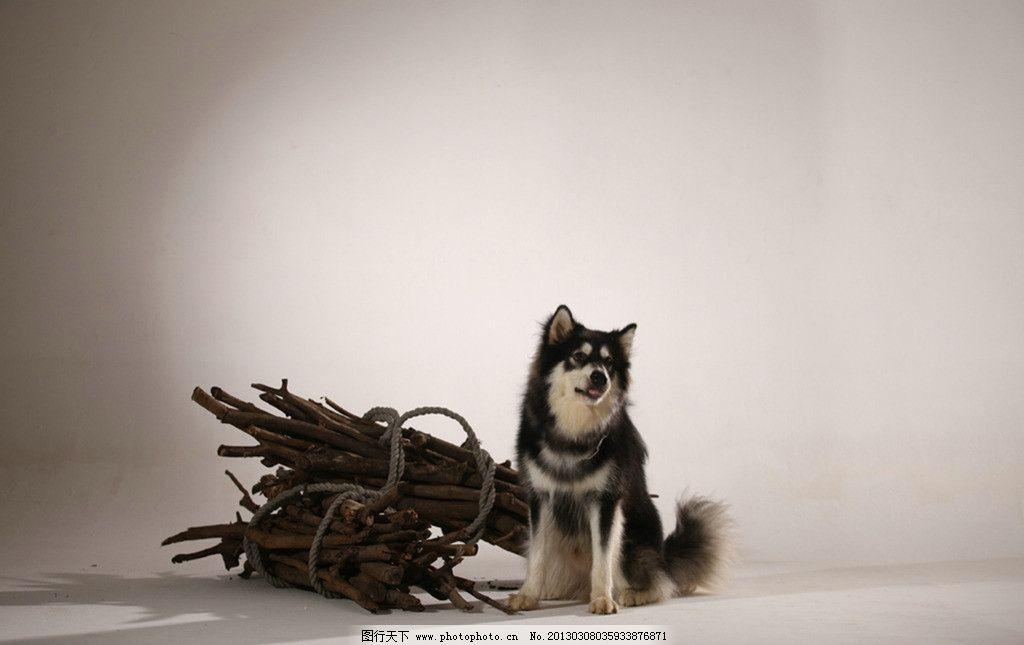 野狼 狼头 树 森林 动物摄影 陆地动物 野生动物 哺乳动物 灰狼