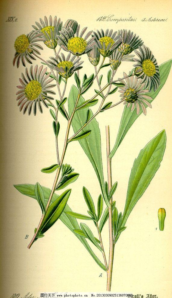 设计图库 生物世界 花草  手绘彩色植物图谱 奥托手绘彩色植物图谱 花
