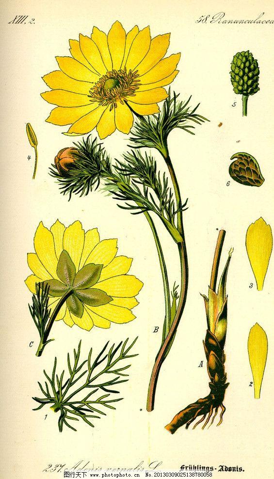 手绘彩色植物图谱 奥托手绘彩色植物图谱 花 花卉 花蕊 高清大图