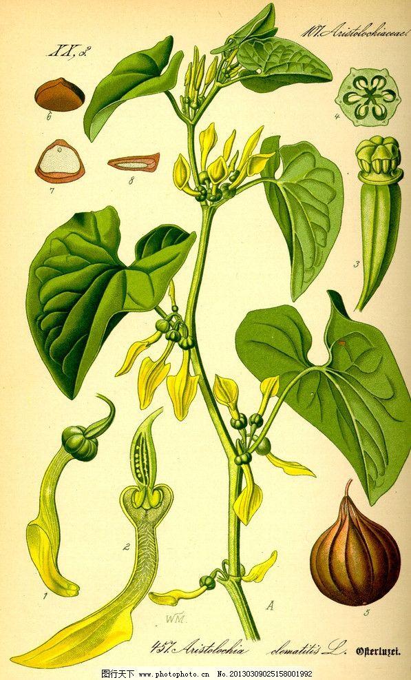 生物世界 花草  手绘彩色植物图谱 奥托手绘彩色植物图谱 球茎 根