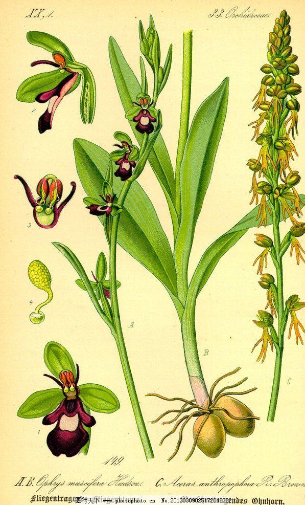 手绘彩色植物图谱 奥托手绘彩色植物图谱 球茎 根 花蕊 高清大图