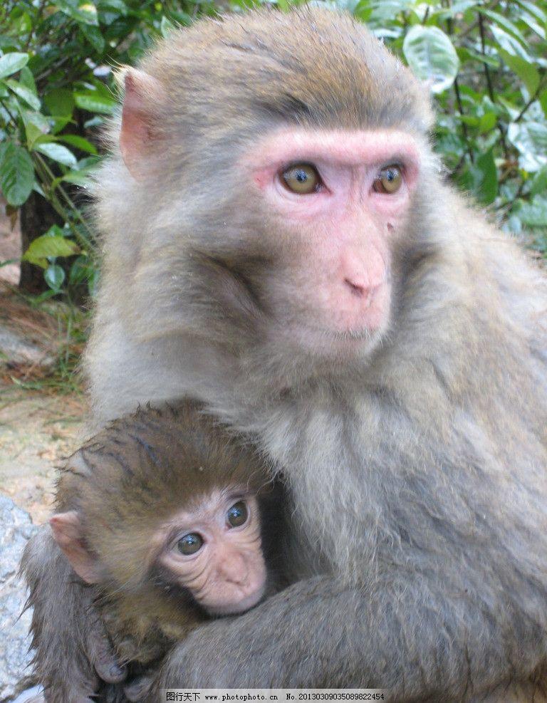 千岛湖的猴母子图片_野生动物_生物世界_图行天下图库