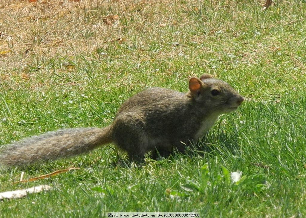 松鼠 可爱的小动物 野生动物 生物世界 摄影 300dpi jpg
