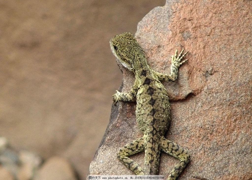 高清蜥蜴 蜥蜴 变色龙 爬行动物 野生动物 生物世界 摄影 180dpi jpg