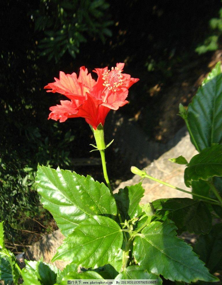 扶桑 朱槿 佛槿 佛桑 红花 大红花 赤槿 日及 花上花 吊兰牡丹 红木槿