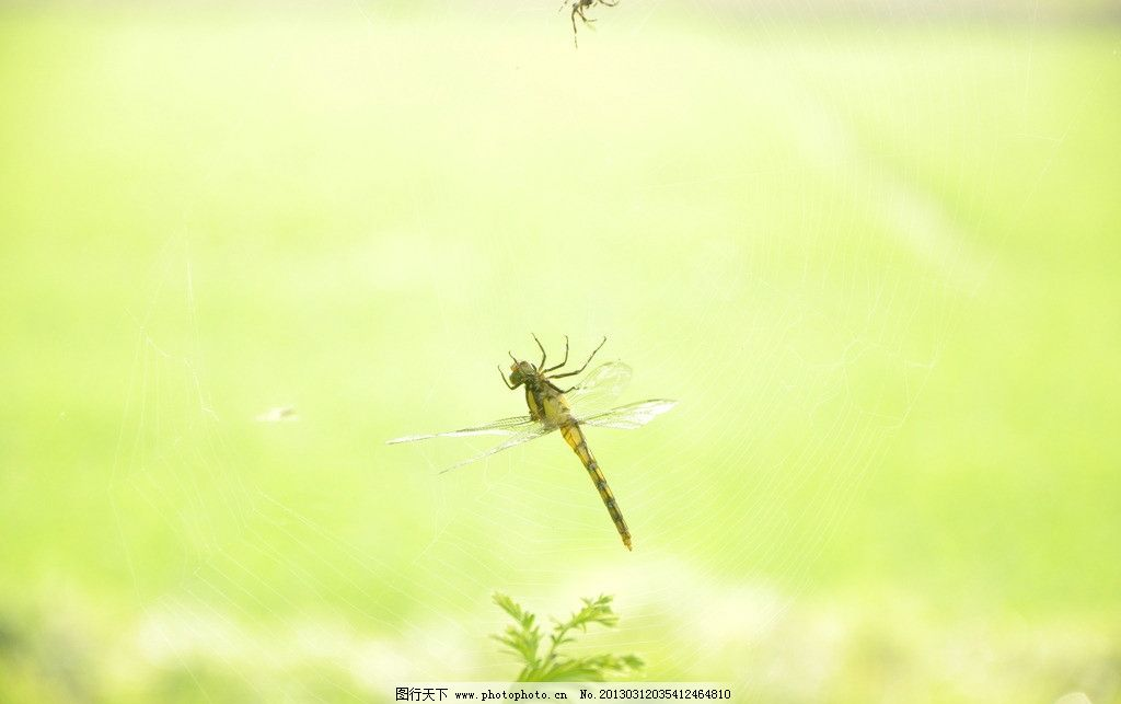 蜘蛛网 蜻蜓 近景 动物 猎食 生存 神奇的自然 昆虫 生物世界