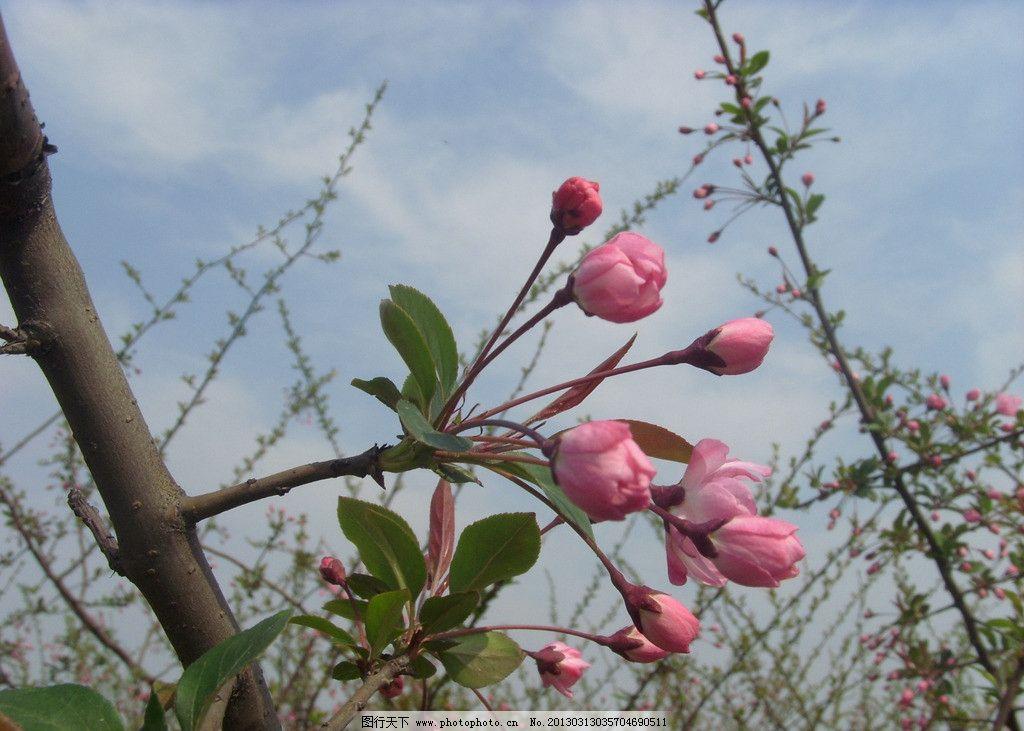 桃花 蓝天 白云 树干 含苞待放 绿树叶 花草 生物世界 摄影 96dpi jpg