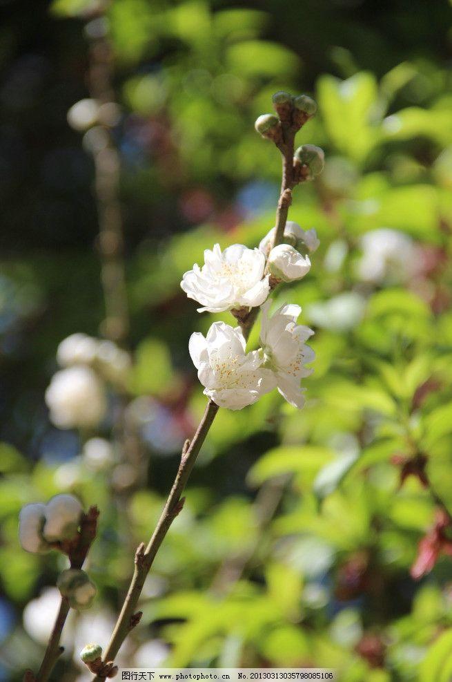 白桃花图片