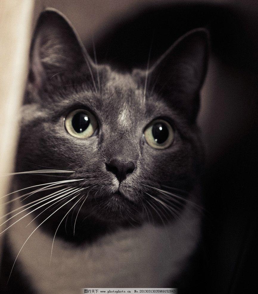 猫咪仰头 猫咪特写 黑白猫咪 猫咪高清图 小黑猫 黄眼睛猫 可爱的猫