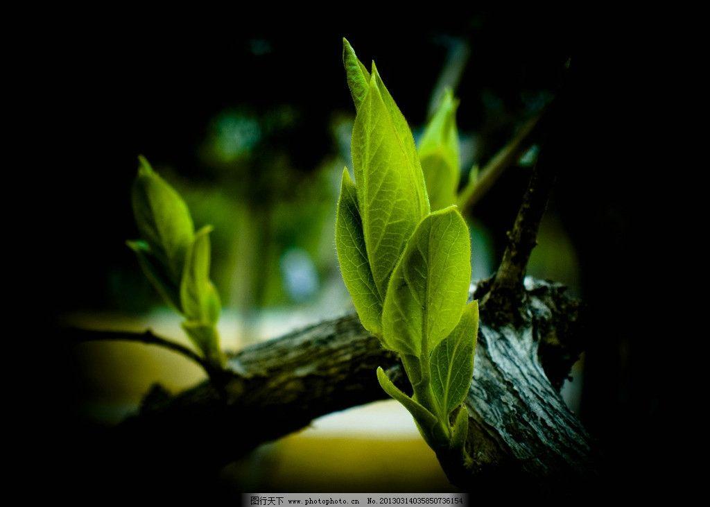 绿叶 嫩芽 树木树叶 春天 花草 植物 生物世界 摄影 240dpi jpg
