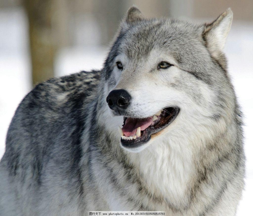 灰狼 狼 大灰狼 野生动物 生物世界 摄影 300dpi jpg